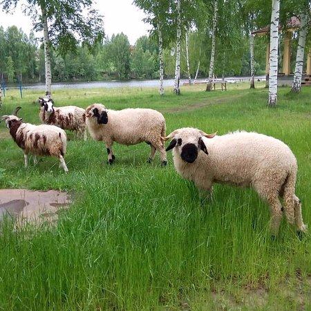 Yaroslavl Oblast, Rússia: Черноносые овцы Лесного берега