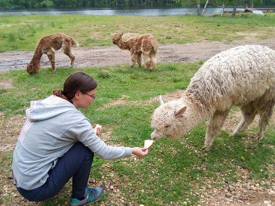 Yaroslavl Oblast, Rússia: Забава для гостей-горожан - альпаку покормить