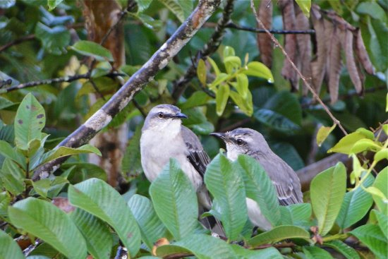 Northeast Coast, Tobago: Pair of mocking birds