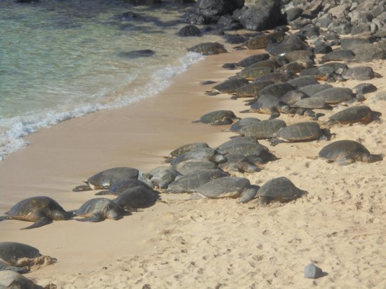 Paia, HI: Turtle resting time
