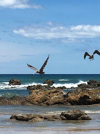 Playa Grande, Costa Rica: Pelicans