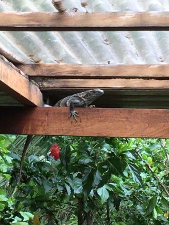 Playa Grande, كوستاريكا: Curious visitor