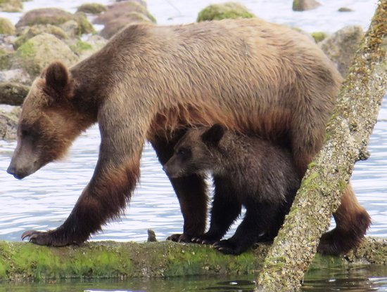 Tide Rip Grizzly Tours: Mamma love!