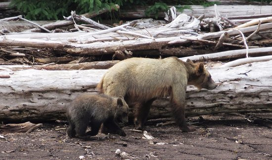 Tide Rip Grizzly Tours: Bearded Lady & her cub