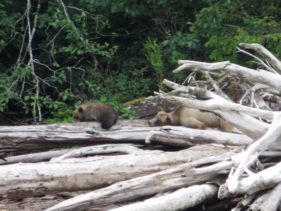 Tide Rip Grizzly Tours: Bearded Lady worn out from her cub's antics all afternoon!