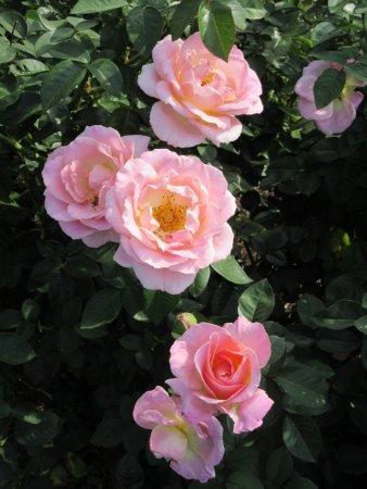 Alton, IL: Moore Park Nan Elliott Memorial Garden Roses