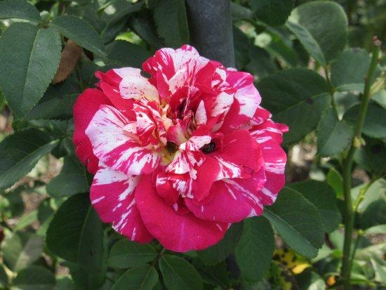 Alton, IL: Moore Park Nan Elliott Memorial Garden Rose