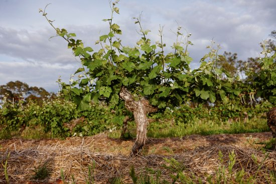 Great Western, Australia: One of the old vines from the 1860's