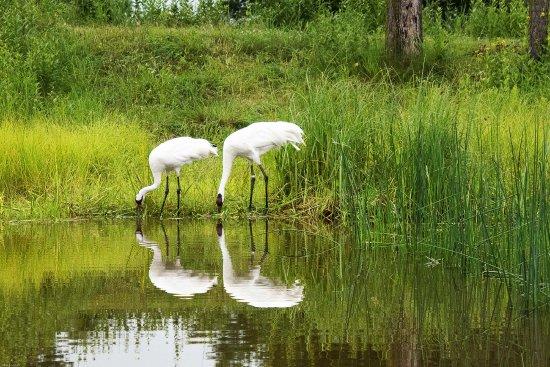 Baraboo, วิสคอนซิน: Whooping Cranes