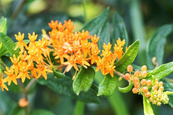 Baraboo, วิสคอนซิน: Butterfly Weed