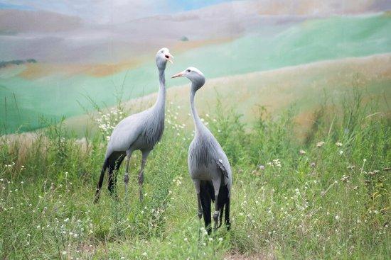 Baraboo, วิสคอนซิน: African Gray Cranes