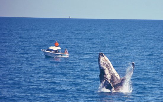 Urangan, Αυστραλία: Great Day out on the water with Spirit of Hervey Bay yesterday, seeing whales breach in Platypus