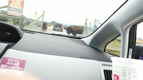 Sequim, WA: Entering bison enclosure