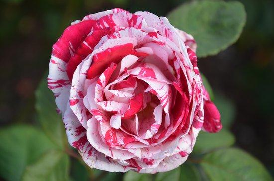 Foto de Parnell Rose Gardens
