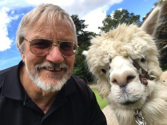 Cockermouth, UK: Alpaca walk August 2017