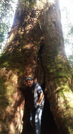 Apollo Bay, Austrália: Huge trees