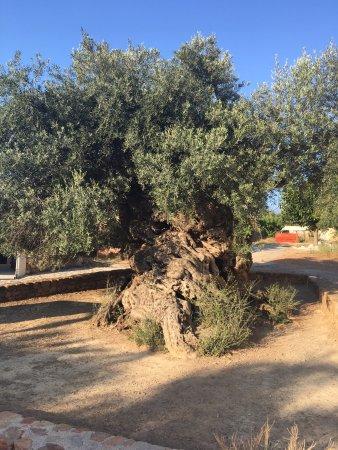 Louis Creta Princess Beach Hotel: Ancient Olive Tree