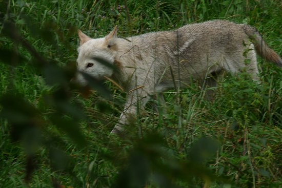 Loeffingen, Alemania: Wolf; Besuch des Parks am 9.8.2017