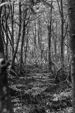 Tarakan mangrove swamp