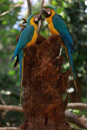 Biocentro Guembe Mariposario: Parabas azul amarillo en pareja.