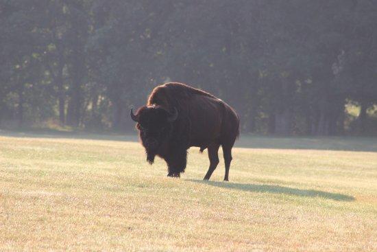 Custer State Park: Buffalo at cabin