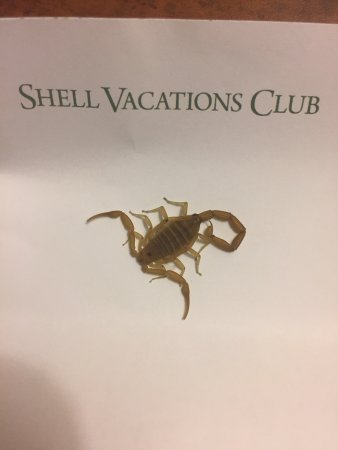 Legacy Golf Resort: Don't leave your shorts on floor, Scorpion in room fround them