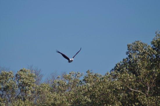 S:T Lucia, Sydafrika: El águila pescadora