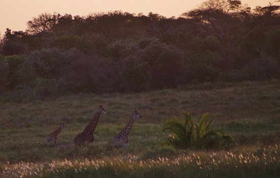 S:T Lucia, Sydafrika: Jirafas a la caída de la tarde