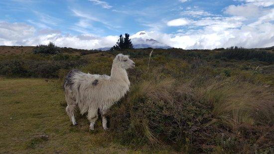 Machachi, Ecuador: resident llama