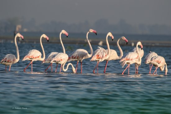 Baramati, India: Flamingos