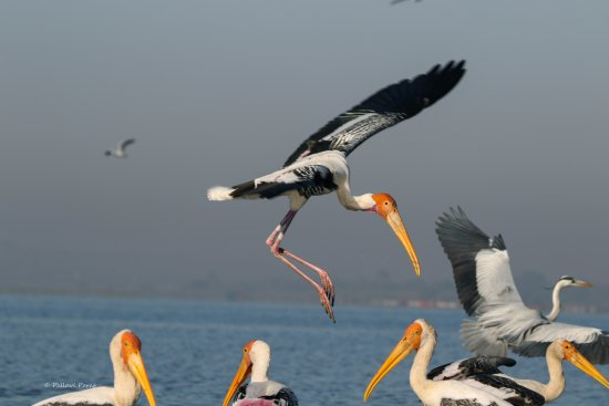 Baramati, India: Painted stork landing