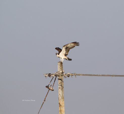 Baramati, India: Osprey