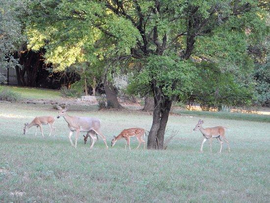 Salado, TX: Deer hanging out near Inn