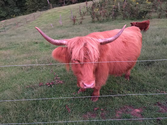 Nellysford, VA: Scottish Highland Cattle