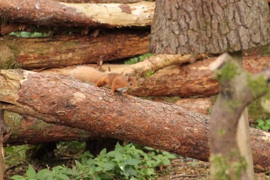 Blairgowrie, UK: Red Squirrel taken from Nature Nuts Pine Marten Hide, June 2017