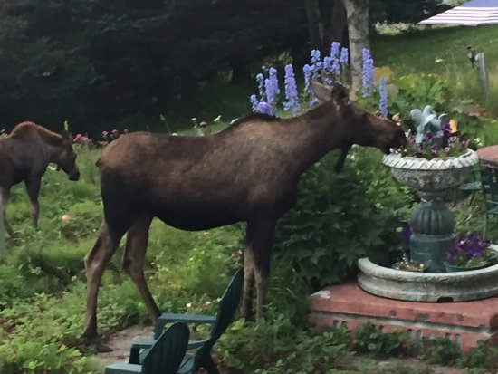 Halcyon Heights B&B / Inn: Moose visitors