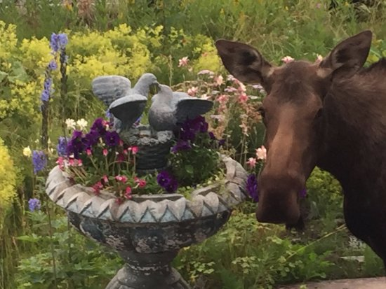 Halcyon Heights B&B / Inn: moose visitor