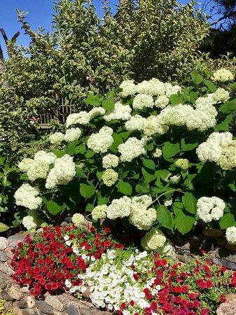 Wellington, Canada: Hydrangea and petunias