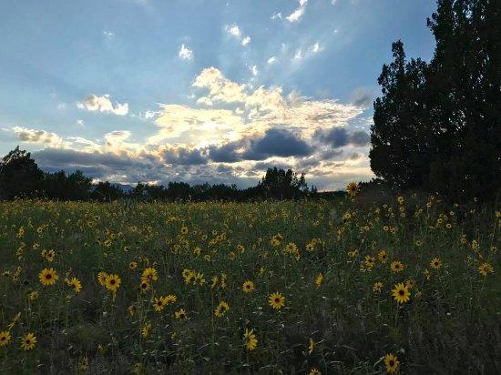 Walsenburg, CO: Fields of Prairie Sunflowers