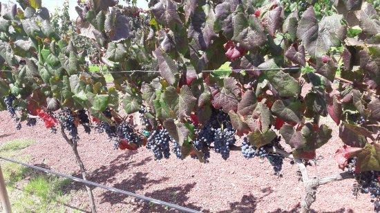 Vinedos Cuna de Tierra: viñedo