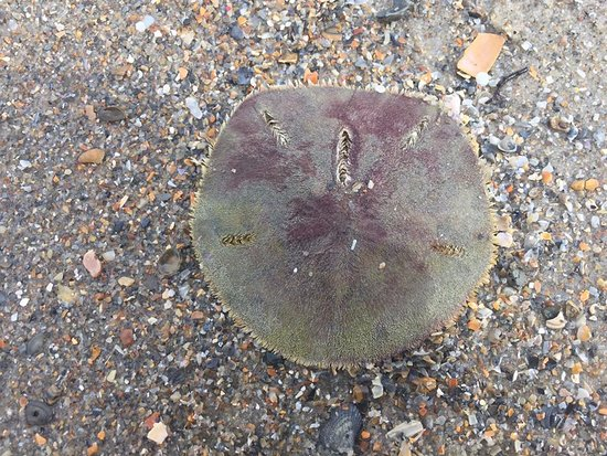 Morehead City, Karolina Północna: living sand dollar