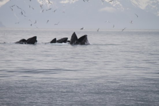 Cooper Landing, AK: Humpback whales feeding