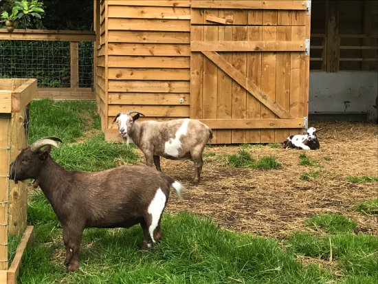 Truro, UK: More goats
