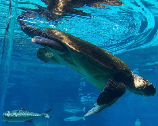 Main Beach, Australia: Turtle in the shark tank