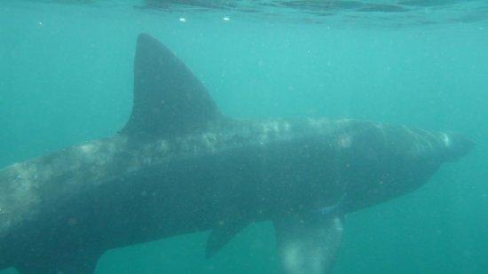 Basking Shark Scotland | Basking Shark Picture Of Basking Shark Scotland Oban Tripadvisor