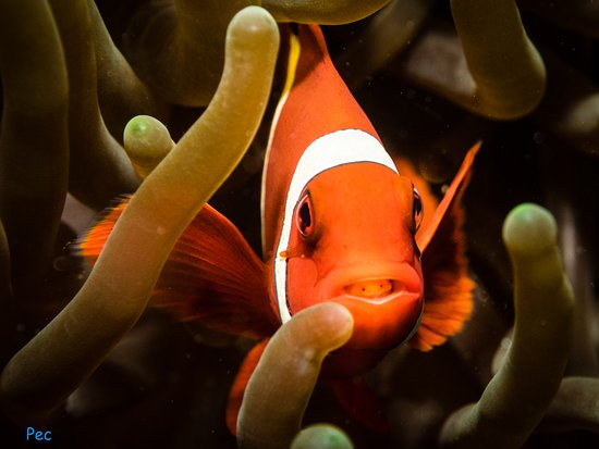 Underwater Tribe: clownfish with parasite in it's mouth