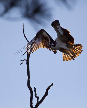 Maryland: Osprey at dawn. Visit Chesapeake Bay in early summer for nesting birds. Stay in Rock Hall, MD.