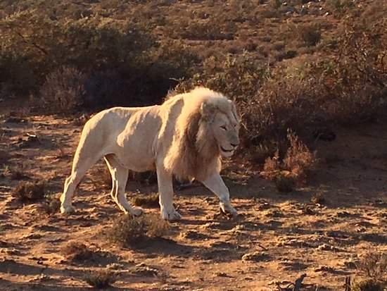 Sanbona Wildlife Reserve: The Elusive White Lion