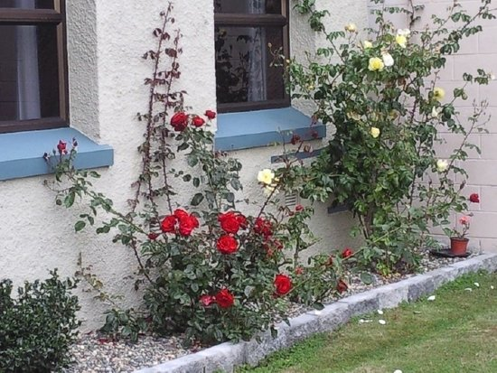 Bluff, New Zealand: Foveaux Hotel roses in the front yeard