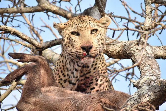 Roodepoort, South Africa: A leopard and his kill in a tree